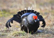 The Black Grouse or Blackgame (Tetrao tetrix). Stock Photography