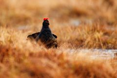 Black grouse on the bog meadow. Lekking nice bird Grouse, in marshland, Finland. Spring mating season in the nature. Wildlife royalty free stock photography