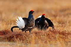 Black grouse on the bog meadow. Lekking nice bird Grouse, Tetrao tetrix, in marshland, Sweden. Spring mating season in the nature. Wildlife scene from north stock photo