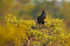 Black grouse on the bog meadow. Lekking nice bird Grouse, Tetrao tetrix, in marshland, Sweden. Spring mating season in the nature stock image