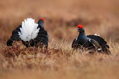 Black grouse on the bog meadow. Lekking nice bird Grouse, Tetrao tetrix, in marshland, Sweden. Spring mating season in the nature royalty free stock images