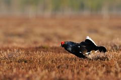 Black Grouse bubbling Stock Photo