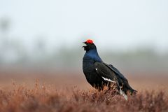 Black grouse call Stock Images