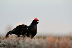 Black Grouse calling Royalty Free Stock Photos