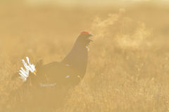 Black Grouse calling Royalty Free Stock Photo