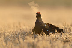 Black grouse calling Stock Image