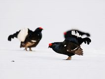 Black grouse courtship display Royalty Free Stock Photo