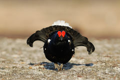 Black Grouse defence. Black Grouse in defence at spring Royalty Free Stock Image