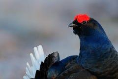 Black Grouse, detail head portrait. Black Grouse, Tetrao tetrix, lekking black bird in marshland, red cap head, animal in nature f Stock Photos