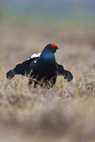 Black grouse Stock Photography