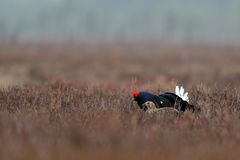 Black grouse with female black grouse. In spring Stock Image