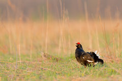 Black Grouse in a Field Stock Images