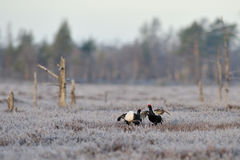 Black Grouse fight. Early in the morning stock photos
