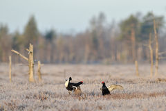 Black Grouse fight. Early in spring stock image