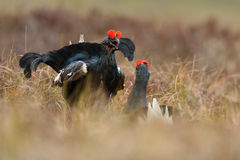 Black grouse fight Stock Photos