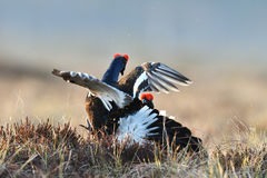 Black grouse fight Royalty Free Stock Photography