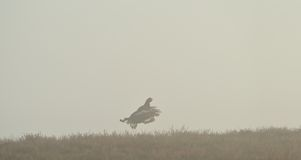 Black Grouse flight through the mist Stock Images