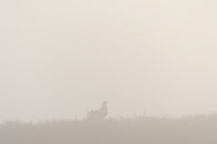 Black Grouse in the fog Royalty Free Stock Photos