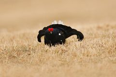 Black grouse in fog meadow.Cold spring in the nature. Wildlife scene from north Europe. Black bird with red crest, white tail.  Le Stock Photography