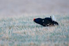 Black grouse in fog meadow. Lekking nice bird Black Grouse, Tetrao tetrix, in marshland, Sweden. Cold spring in the nature. Wildli Royalty Free Stock Photos
