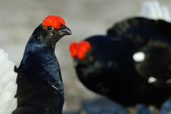 Black Grouse game Royalty Free Stock Image
