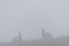 Black Grouse game in the mist Stock Photo