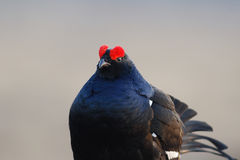 Black Grouse huddling Royalty Free Stock Images