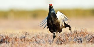 Black grouse jumping Royalty Free Stock Image