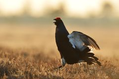 Black grouse jumping Royalty Free Stock Photography
