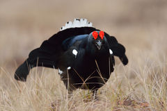 Black grouse at lek Royalty Free Stock Images