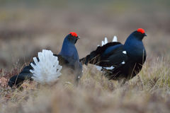 Black grouse lek Royalty Free Stock Photo