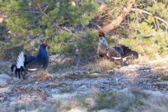 Black grouse lek mating Royalty Free Stock Photos
