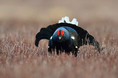 Black grouse at lek Royalty Free Stock Photos