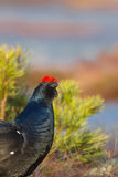 Black Grouse is listening Stock Images