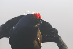 Black grouse looking through the fog Royalty Free Stock Images