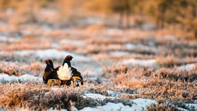 Black Grouse Stock Photo