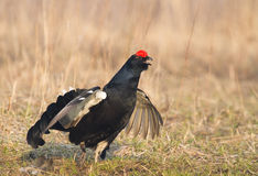 Black Grouse Royalty Free Stock Photography