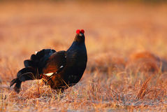 Black grouse Royalty Free Stock Photo