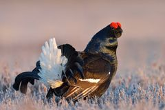 Black grouse portrait Royalty Free Stock Photos
