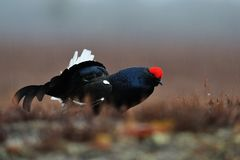 Black Grouse in the rain Royalty Free Stock Photos