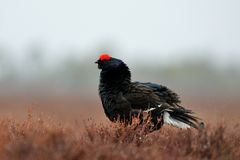 Black Grouse shaking off water Royalty Free Stock Photos