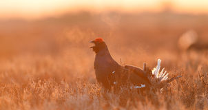 Black grouse shout Stock Images