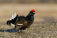Black Grouse shouting Royalty Free Stock Photos