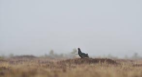 Black grouse shouting Royalty Free Stock Image