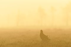 Black Grouse shouting in sunrise Stock Photo