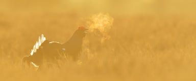 Black Grouse shouting Royalty Free Stock Photo