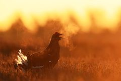 Black Grouse shouting Stock Photography