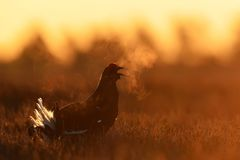 Black Grouse shouting. At sunrise royalty free stock image