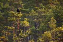 Black grouse sitting in pine tree. Lekking bird Grouse, Tetrao tetrix, in forest marshland, Sweden. Spring mating season in nature. Wildlife scene from north royalty free stock image