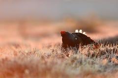Black grouse at sunrise Royalty Free Stock Photo